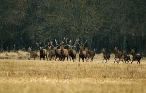 Forest_deer_running